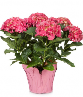 Hydrangea plant-Color may Vary Mother's Day