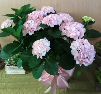 Hydrangea Plant Hydrangea plant, pink or purple