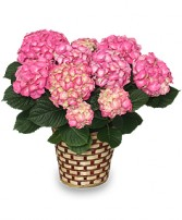 Hydrangea Plant In Red or Pink