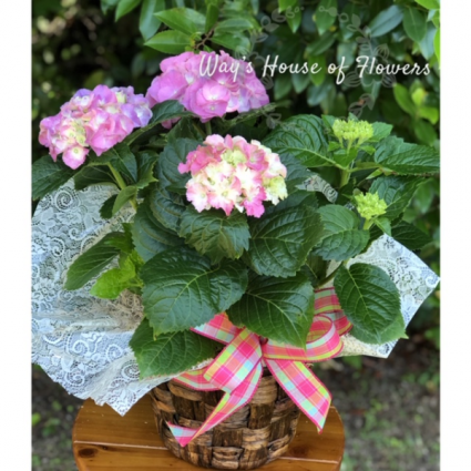 Hydrangea Plant-SOLD OUT Mother's Day
