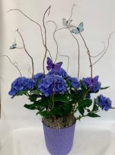 Hydrangea plant  Plant