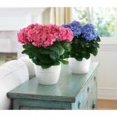 Hydrangea Plant Spring Plant