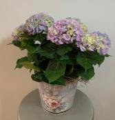 Hydrangea Potted Hydrangea