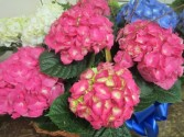 Hydrangea Plant Pink, Blue or White