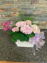 Hydrangula planter Plant