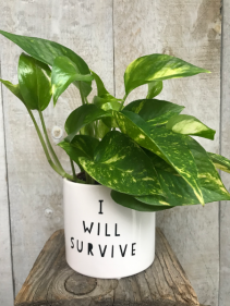 """""""I Will Survive"""" Pothos  Plant in Pot"""