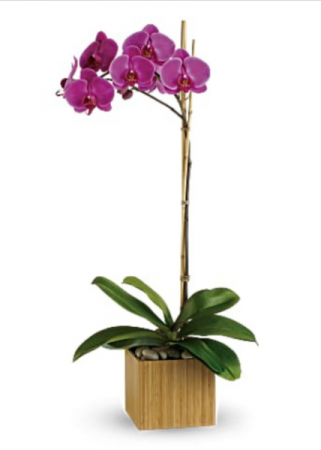 Imperial Purple Orchid Blooming Plant