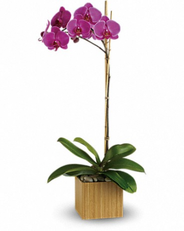 Imperial Purple Orchid Plant Flower