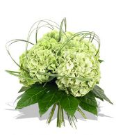 Imported hydrangeas Summer special of the Week