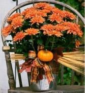 InBloom Chrysanthemums