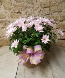 Indoor Daisy Mum Plant