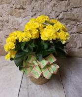 Indoor Rieger Begonia Plant