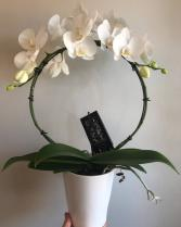 Infinity Orchid Potted Plant
