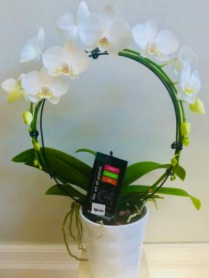 Infinity Orchid Potted Plant  in Cambridge, ON | KELLY GREENS FLOWERS & GIFT SHOP