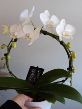 Infinity Orchid Sold out till March 4th/2021 Potted Plant