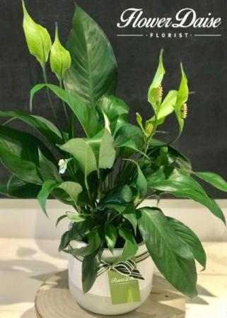 Ingrid Plant in Ceramic Container