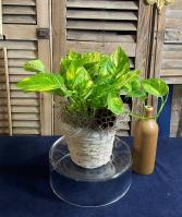 Ivy - Pothos Foliage Plants