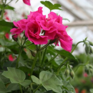 Ivy Geraniums Annual
