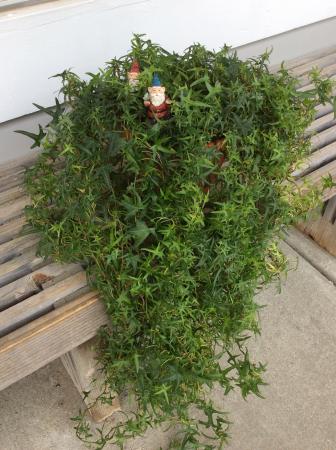 Ivy Plant