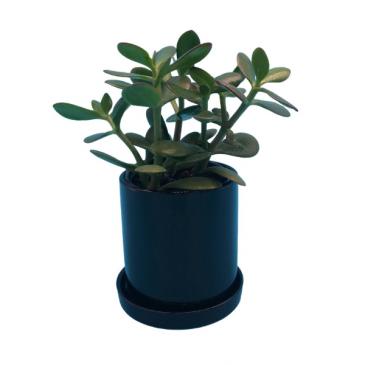 Jade Houseplant