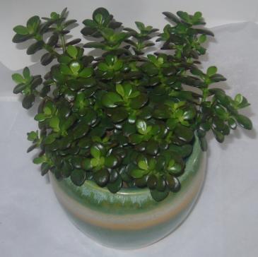 JADE PLANT House Plant