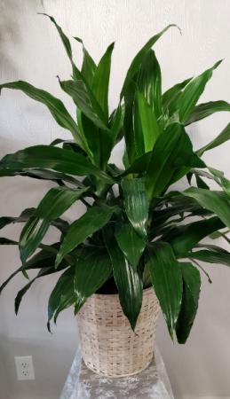 Janet Craig Dracaena Plant