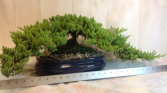 Japanese Juniper Bonsai Green plant