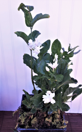 Jasmine plant Plant