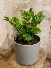 Jasmine Sambac plant