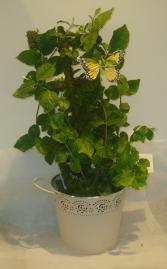 JASMINE TRELLIS Indoor Plants