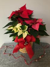 Jingle Bells Poinsettia