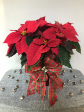 Jingle Bells Poinsettia