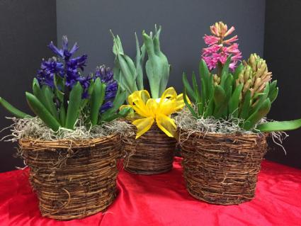 Joyful Spring Potted bulb plant in basket