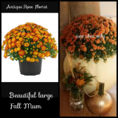 Jumbo Fall Mum W/ Basket, Fall Bow & Fall Accents Live Blooming Plant