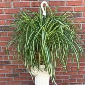 Jumbo Spider Houseplant Plant