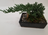 Juniper Bonsai Plant