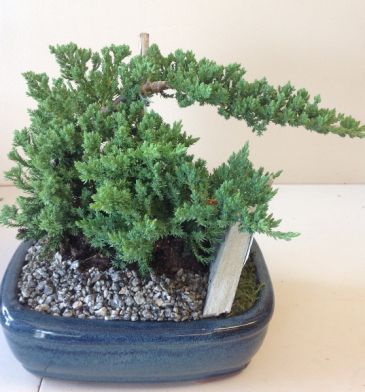 Bonsai Tree - Juniper Plant