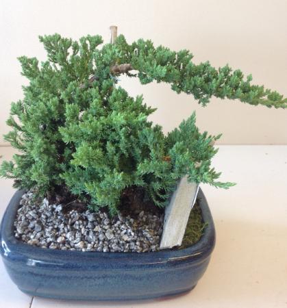Bonsai Tree Juniper Plant In San Antonio Tx Bloomshop