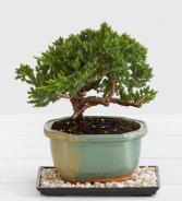 Juniper Bonsai .WGP944-N
