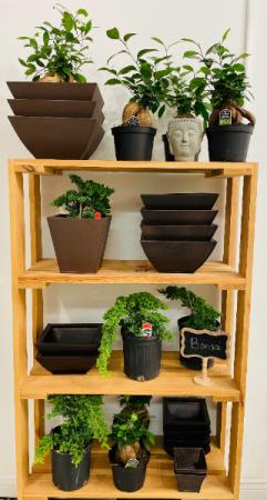 Juniper & Ginseng Bonsai Plant