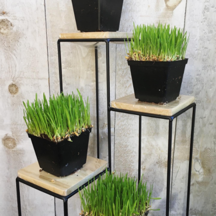 Organic Cat Grass  in growers pot