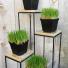Organic Cat Grass  in growers pot