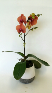 Just Peachy Potted Orchid Plant
