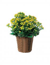 Kalancho Blooming Plants