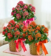 Kalanchoe Blooming Plant