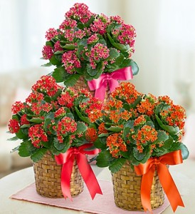 Kalanchoe Blooming Plant on solanum blooming plant, orchids blooming plant, kalanchoe blooming time, violet blooming plant,