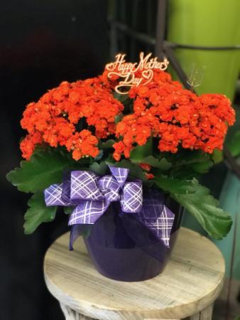 Kalanchoe Indoor Blooming Plant