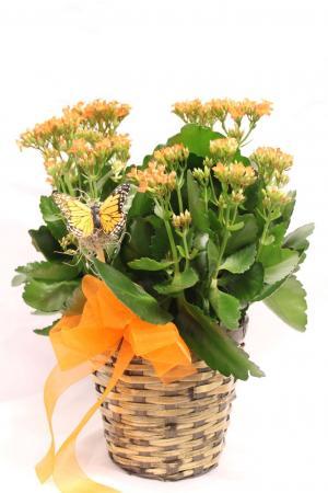 Kalanchoe Plant Basket