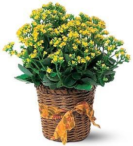 Kalanchoe Plant Fall Plant in Whitesboro, NY | KOWALSKI FLOWERS INC.
