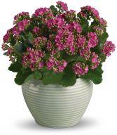 Kalanchoe Plant EN-13P